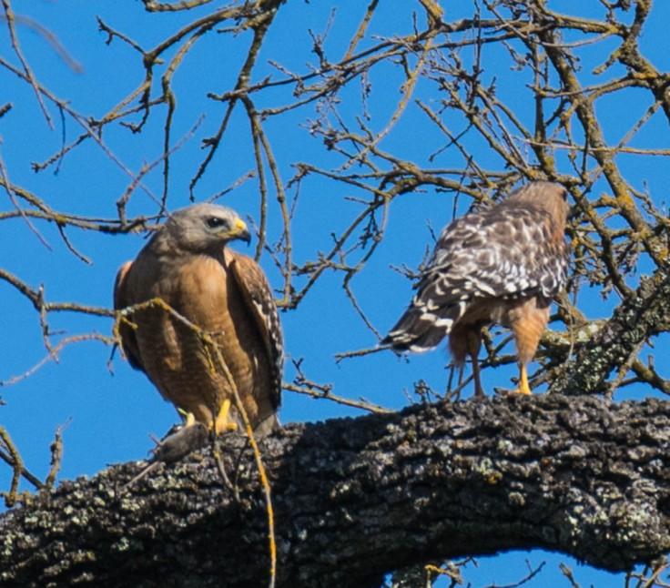 Hawks (1 of 1)
